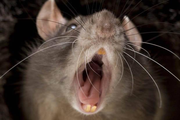 شركة مكافحة فئران بالخبر