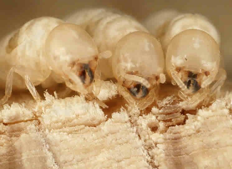 شركه مكافحه النمل الابيض بالخبر