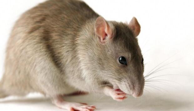 شركة مكافحة فئران بالجبيل