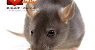 شركة مكافحة فئران بالدمام
