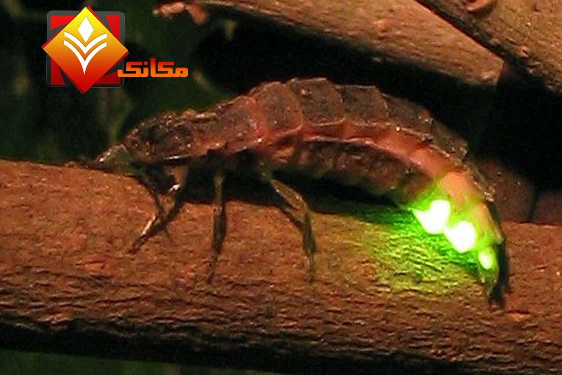 الحشرات المضيئة