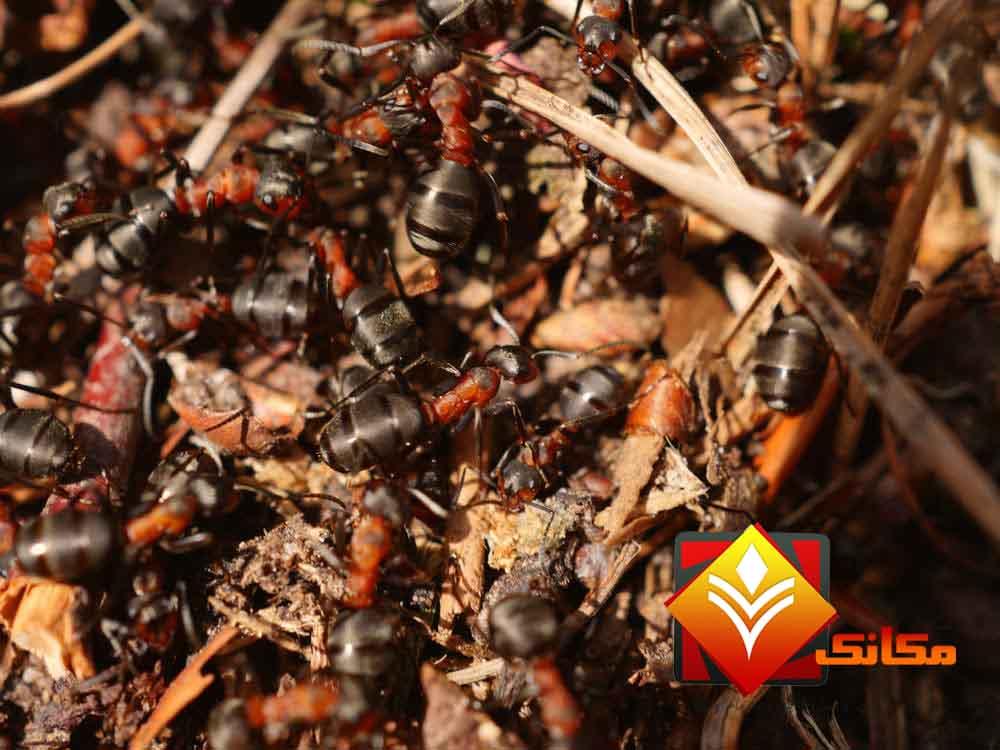 النمل وأضراره