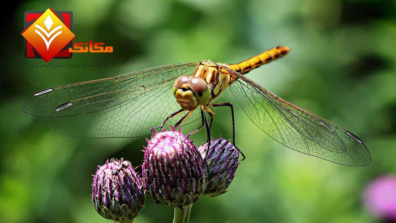 اليعسوب (حشرة اليونان )
